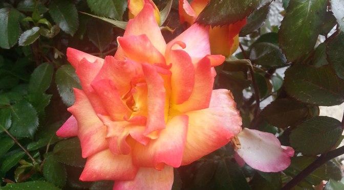 Rose Haiku
